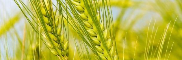Nawożenie zboża – pszenica