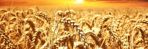 Pszenica – uprawa i znaczenie