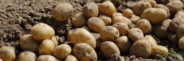 Choroby ziemniaka, jak sobie z nimi radzić cz.1