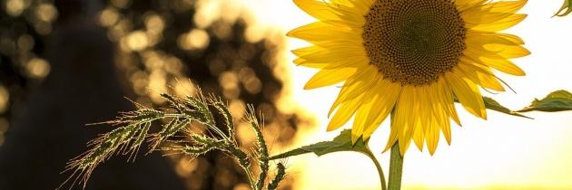 Słonecznik – piękny i wartościowy
